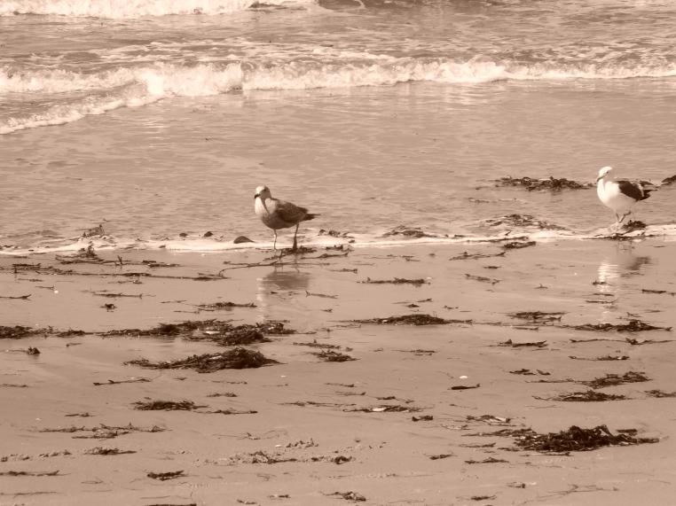 Ocean Beach seagull