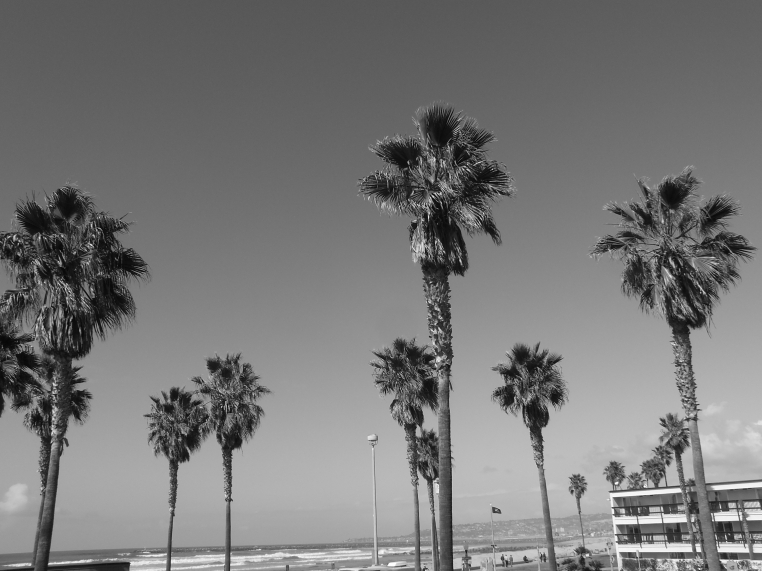 Ocean Beach Palm trree