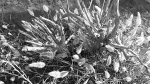 lake jennings b/w pic plants