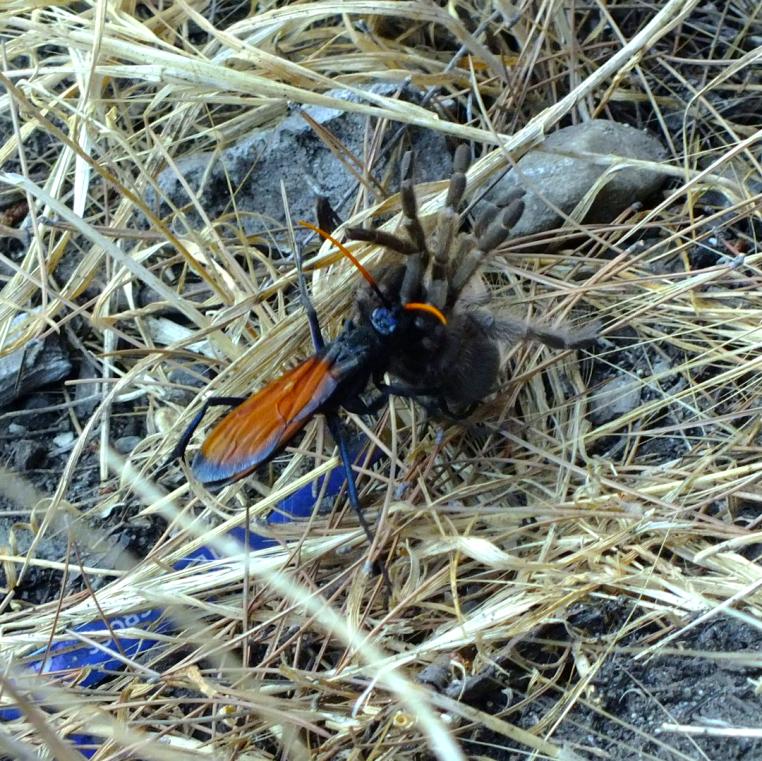 Heaton flats trantula hawk paralyzes tarantula