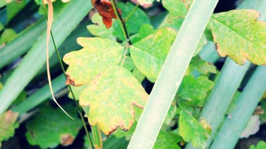 poison oak poison ivy
