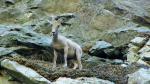 Baby Bighorn sheep in the narrows