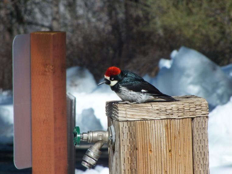 Cuyamaca woodpecker
