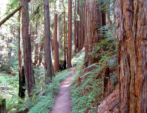 Redwoods and Douglas Fir Hike No 22
