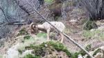 Nelson bighorn sheep