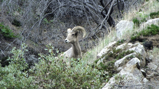 Nelson bighorn sheep cover