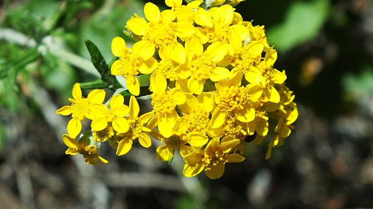 dos picos flower